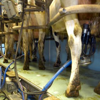 Fromagerie Villiers - Villiers - La traite des vaches